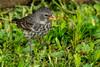 Female Small-Billed Ground Finch