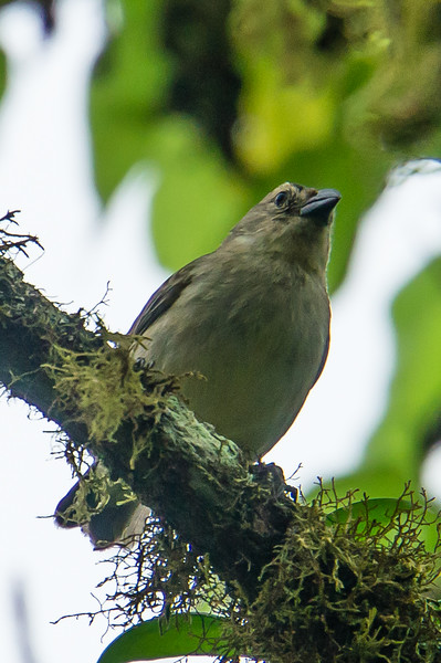 Small-Tree Finch