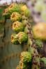 Post-flowering Prickly Pear Cactus