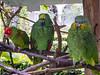 Three parrots