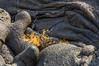 Mollugo Colonized Lava Flow