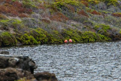 Greater Flamingos in Rocas Bainbridge
