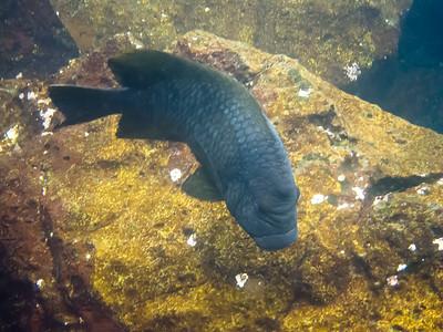 Bumphead Parrotfish