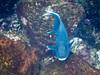 Giant Damselfish