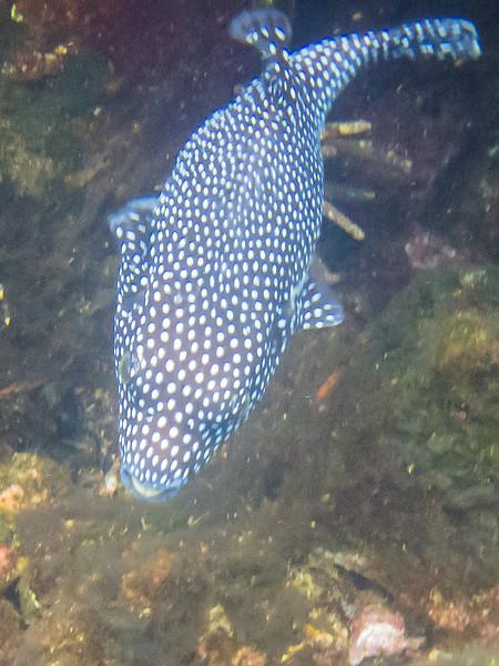 Guineafowl Puffer fish