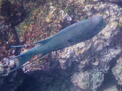 Streamer Hawkfish