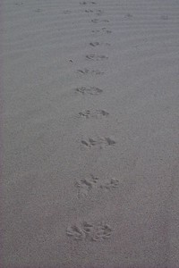 Pattern of Tracks in Sand   (Jun 01, 1999, 07:52am)