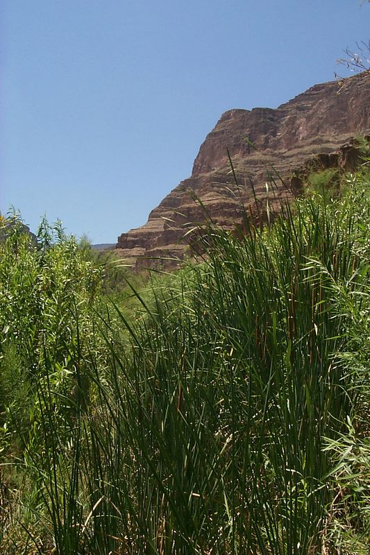 <b>Spring Canyon Cattails</b>   (Jun 10, 1999, 01:52pm)