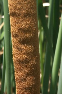 Cattail   (Jun 10, 1999, 01:58pm)