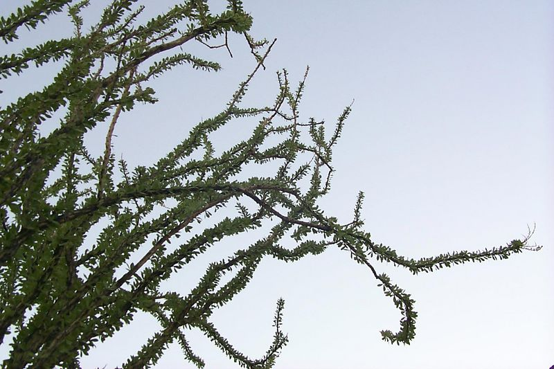 <b>Ocotillo</b>   (Jun 11, 1999, 06:53am)