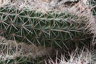 Pattern of Cactus Spines   (Jun 05, 1999, 12:58pm)