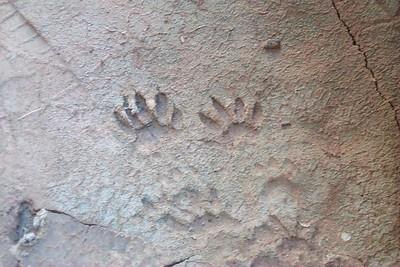 Ringtail Tracks in Mud   (Jun 07, 1999, 12:25pm)