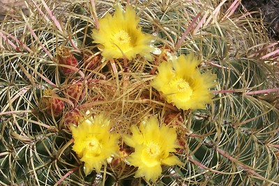 Barrel Cactus in Bloom   (Jun 07, 1999, 11:35am)