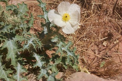 Prickle Poppy   (May 27, 1999, 11:50am)