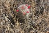 <b>Fishhook Cactus Berries</b>   (May 29, 1999, 04:45pm)