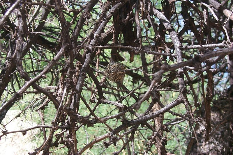 <b>Hummingbird Nest</b>   (May 30, 1999, 04:48pm)
