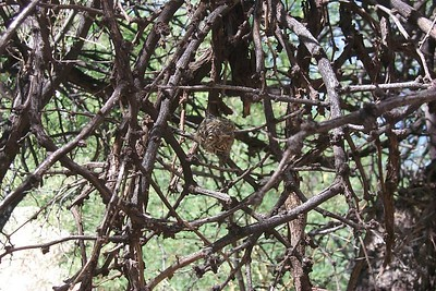 Hummingbird Nest   (May 30, 1999, 04:48pm)