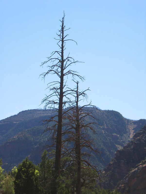 <b>Trees in the Canyon of Lodore</b>   (Jun 26, 2003, 03:55pm)