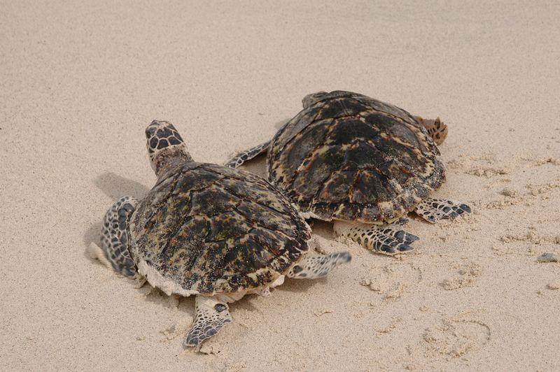 <b>Two turtles race for the open water</b>   (Jul 25, 2004, 03:04pm)