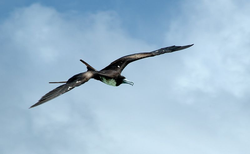 <b>Frigate bird in flight</b>   (Jul 26, 2004, 12:45pm)