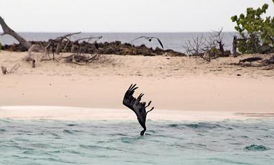 Pelican diving for fish near Sandy Islans   (Jul 20, 2004, 11:28am)