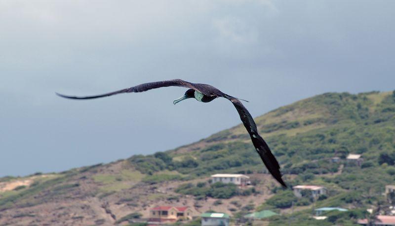 <b>Frigate bird flying near Petit Martinique</b>   (Jul 26, 2004, 12:43pm)