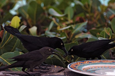 The grackles fight over a plate of food   (Jul 25, 2004, 05:54pm)