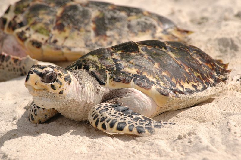 <b>Year old turtles on the beach at PSV</b>   (Jul 25, 2004, 03:02pm)