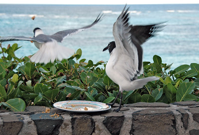 Seagulls fighting over food careless left out   (Jul 25, 2004, 05:51pm)