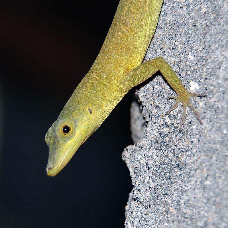 <b>Mr. Lizard, bathroom resident at Petit Byahaut</b>   (Jul 16, 2004, 07:54am)