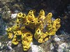 <b>Yellow tube sponge with christmas tree hydroid</b>   (Jul 16, 2004, 02:08pm)  <p align=left>This coral and the next picture were outside the bat cave, where we snorkled around before moving on.</p>