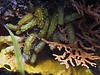 <b>Unidentified sea dweller</b>   (Jul 16, 2004, 02:50pm)  <p align=left>Our reef identification books let us down only once, and it was with this creature (the yellow limpy worm-like thing).  Please post a comment if you can identify this creature.</p>