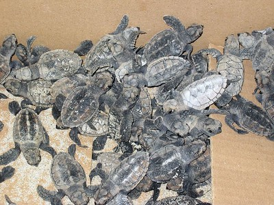 Baby turtles freshly collected from the beach   (Jul 23, 2004, 10:52am)  When we first arrived on Petit St. Vincent, on the ride from the jetty to the office, we were not alone in the little cart.  Sharing the front seat with driver was this box of baby turtles.  These turtles were recently hatched and collected by the PSV staff from the beach (Atlantic Beach, I assume).  The turtles were destined for the turtle research facility on Bequia, where they would be raised for one year.  Then, the turtles would be brought back to PSV and released into the wild.  In fact, just a few days after we arrived, there was a turtle release on Atlantic Beach (of the previous year's turtles).  You can see the pictures of the year-old turtles later in this gallery.