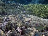 <b>Smallmouth grunts over finger coral</b>   (Jul 25, 2004, 11:10am)
