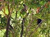 <b>Grackle in a tree, eyeing our picnic lunch</b>   (Jul 24, 2004, 01:10pm)  <p align=left>Before we went in for our snorkel, we ordered lunch.  While we were in the water, the staff picked up our lunch order and brought lunch to our beach hut at 1:00pm.  Easting lunch at the beach is a common activity at Petit St. Vincent, and the local birds know it.  In this tree you can see a grackle waiting patiently for us to turn aawy so he can steal some food. If you look closely at the picture you may also notice two other birds as well.</p>  <p align=left></p>