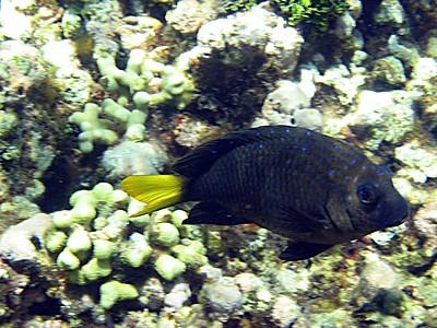 Yellowtail damselfish   (Jul 24, 2004, 11:27am)
