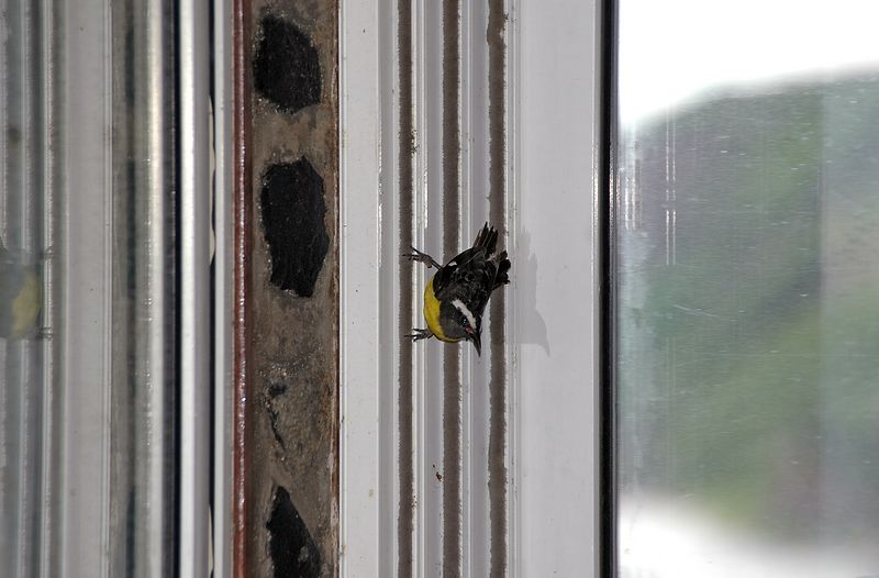 <b>This little fellow came into our cottage</b>   (Jul 27, 2004, 06:28am)  <p align=left>Another bird flew into out cottage this morning and spend some time on the wall next to the sliding glass doors, before deciding that we had no food and flying on.</p>  <p align=left></p>