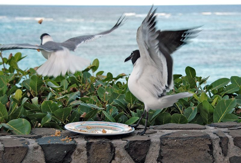 <b>Seagulls fighting over food careless left out</b>   (Jul 25, 2004, 05:51pm)  <p align=left>Someone (who will remain nameless), carelessly left out a plate of half-finished cookies.  First to arrive on the scene were the ever vigilant seagulls who aggressively attacked the food, and each other as you can see in this picture.</p>  <p align=left></p>