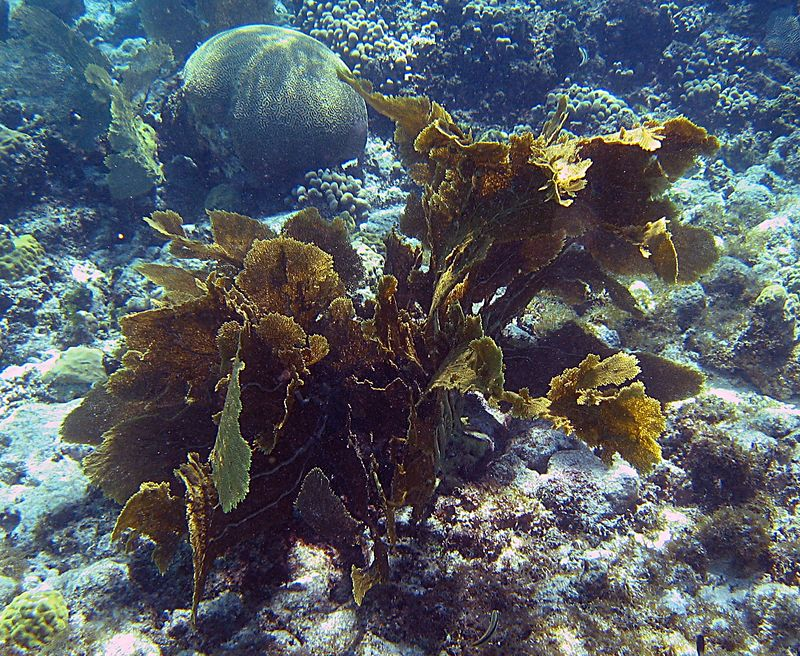 <b>Common sea fan cluster</b>   (Jul 25, 2004, 10:44am)  <p align=left>The waters off of Atlantic Beach were very different than those off of West End Beach.  For one thing, there was no algae infestation.  The coral was divided into large collections, separated by white sand.  Unlike any other place we snorkeled, the ocean of Atlantic Beach was filled with soft corals, like the sea fans seen in this picture.</p>  <p align=left>The next block of pictures are all from our snorkeling trip to Atlantic Beach.</p>  <p align=left></p>