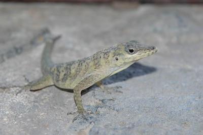 Lizard resident of cottage 4   (Jul 24, 2004, 08:51am)