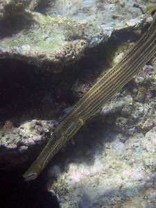 Trumpetfish   (Jul 24, 2004, 11:44am)