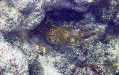 Goldentail moray eel   (Jul 24, 2004, 11:49am)  We saw a lot of eels on this vacation.  Here is the head of one goldentail moray eel.  He clearly does not want me around since he is protecting most of his body in the reef and giving me threatening looks.  (Now if the camera would just autofocus on the eel and not the reef behind it.)