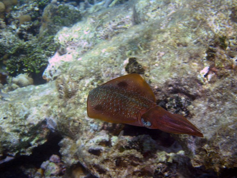 <b>Caribbean reef squid</b>   (Jul 26, 2004, 10:26am)