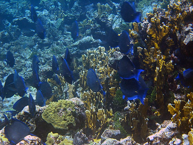 <b>Blue tang among the bladed fire coral</b>   (Jul 22, 2004, 10:22am)  <p align=left>This picture gives you a good feel for the character of the windward side of Horseshoe Reef.  Notice that the fire coral gets closer and closer to the surface as you head west (back towards the boat). Needless to say, when we were done snorkeling, we used the channel to get back.</p>  <p align=left></p>