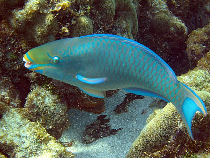 <b>Queen parrotfish</b>   (Jul 21, 2004, 03:36pm)  <p align=left>I have a lot of difficulty taking pictures of fish.  The Canon Elph camera that I use has a noticeable auto-focus delay, aggravated by the lower light conditions under water.  The fish have a tendency to move away during the few seconds it takes me to get a focus lock on them, so many of the fish pictures are a little blurry.  Coral, on the other hand, are easy to take a picture of -- then tend not to move around.</p>  <p align=left>Parrotfish are particularly hard.  The sight of a snorkeler causes the parrotfish to turn and slowly swim away.  I often try to give chase but often end up with just a blurry picture of the parrotfish's tail.</p>  <p align=left></p>