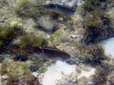 A pair of reef squids   (Jul 20, 2004, 11:58am)