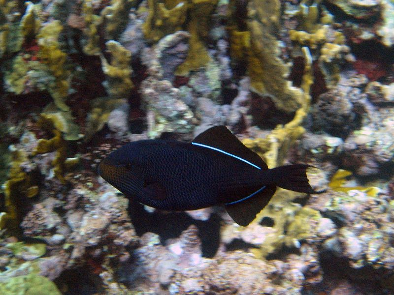 <b>Black durgon (triggerfish)</b>   (Jul 22, 2004, 10:11am)  <p align=left>This next series of underwater pictures were taken while snorkeling on the windward side of Horseshoe Reef.  Jeremy took us through a channel in the reef on the dingy, then we jumped in the water and swam around.  The windward side of the reef was very different, consisting of a wall of fire coral rising from the deep instead of a series of coral heads in the shallow sands.</p>