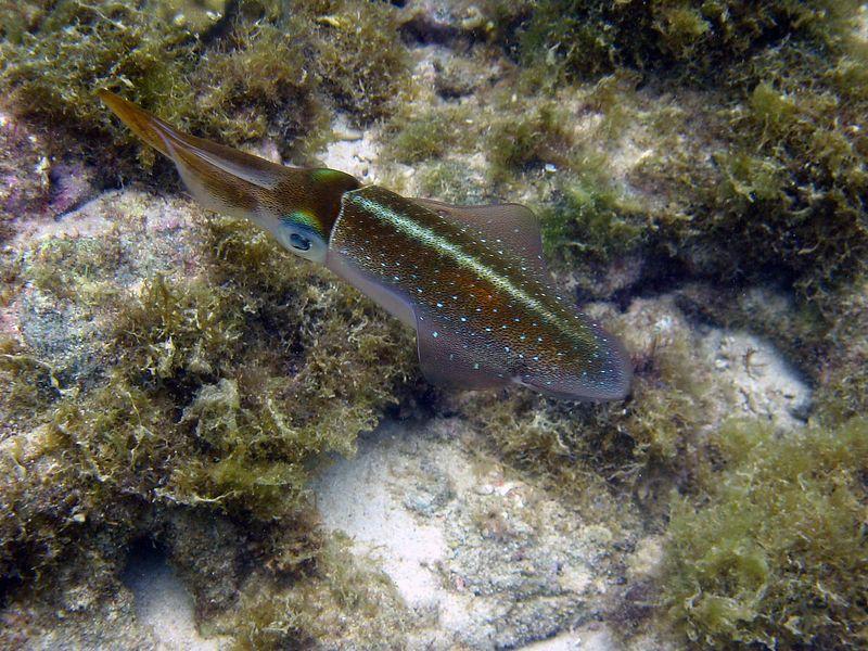 <b>Carribbean reef squid</b>   (Jul 20, 2004, 11:58am)