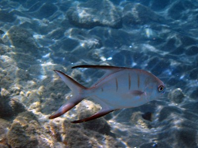 Palometa (jack family)   (Jul 16, 2004, 10:21am)