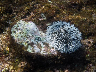 West indian sea egg urchin   (Jul 16, 2004, 02:10pm)